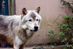 オオカミのベクトル