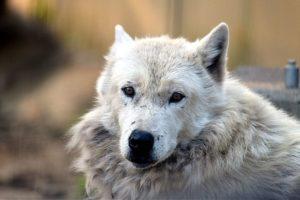 オオカミのマース