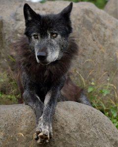 オオカミのノチウ