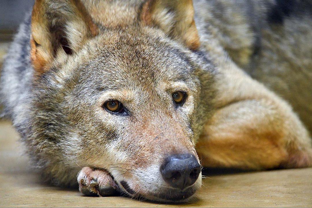 オオカミのロイ
