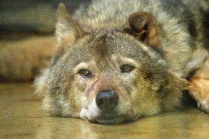 オオカミのロキ