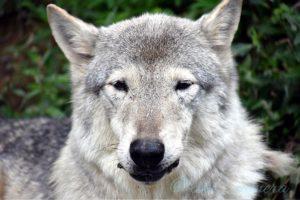 オオカミのサクラ