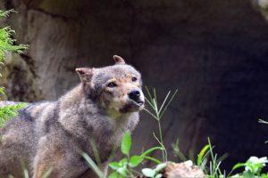 オオカミのセロ