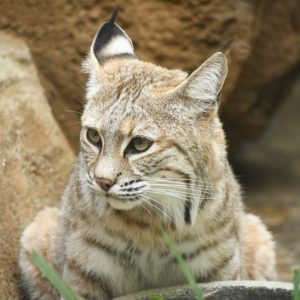 神戸市立王子動物園のボブキャットのソラ