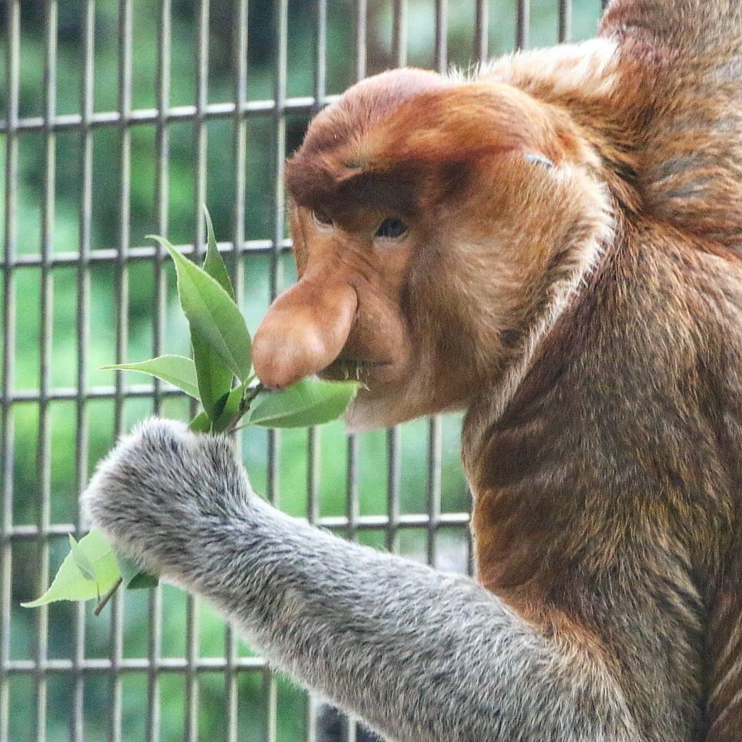 よこはま動物園ズーラシアのテングザルのゲンキ