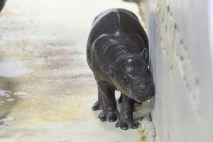 いしかわ動物園のコビトカバ