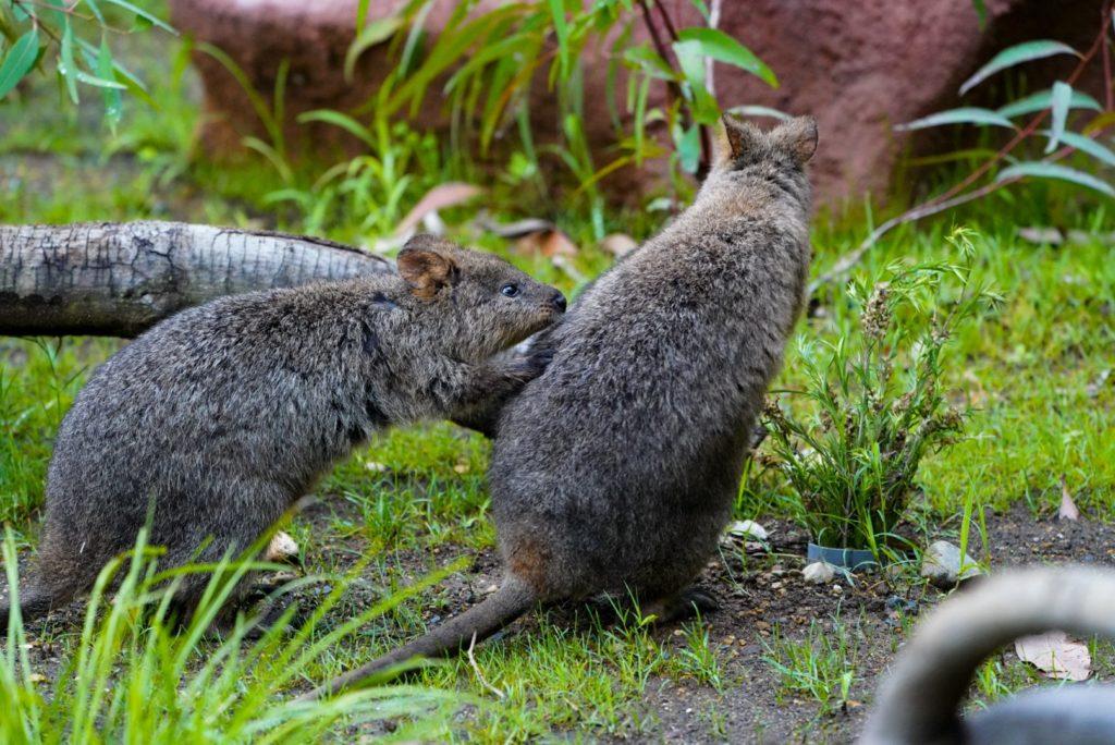埼玉こども自然動物公園のクオッカ(クアッカワラビー)
