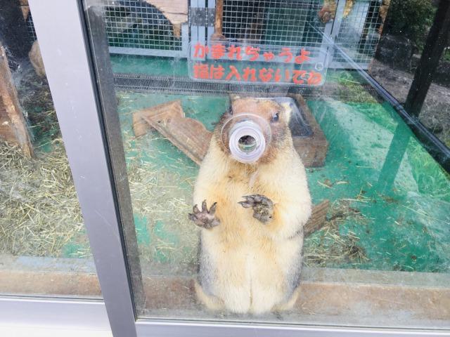伊豆シャボテン動物公園のボバクマーモット