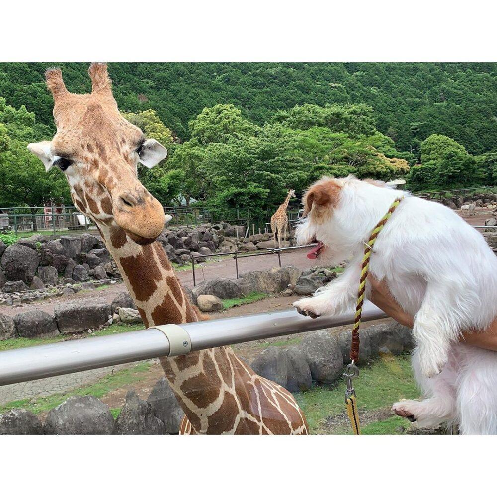伊豆アニマルキングダムのキリンと愛犬