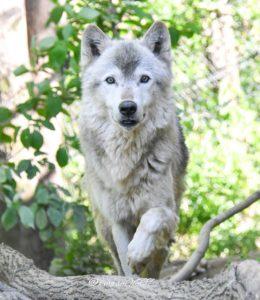 群馬サファリパークのオオカミのベクトル
