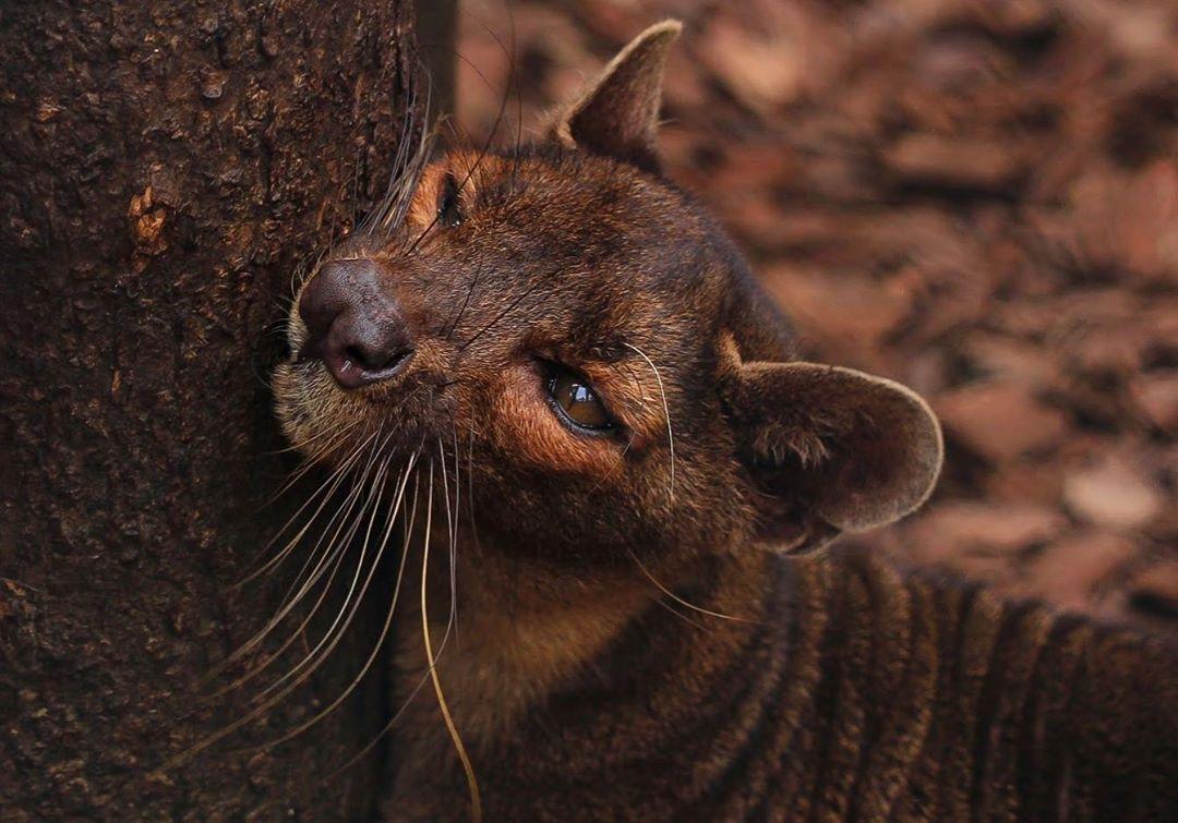 上野動物園のフォッサのベザ