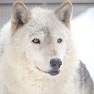円山動物園のオオカミのジェイ