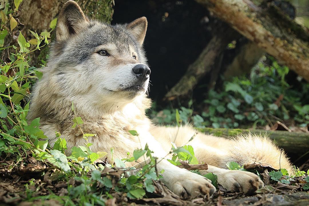 オオカミのシートン