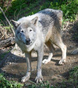 群馬サファリパークのオオカミのサクラ