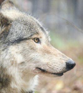 円山動物園のオオカミのショウ