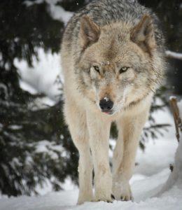 オオカミのワッカ